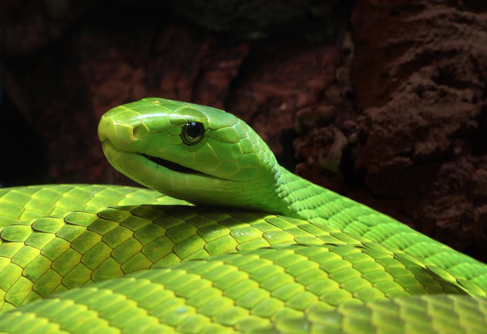 serpente mamba verde