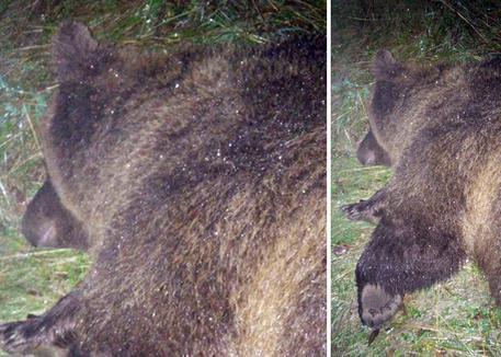 L'orsa KJ2 durante la fase di cattura da parte dei forestali del Trentino sulle pendici del Bondone nel 2015.